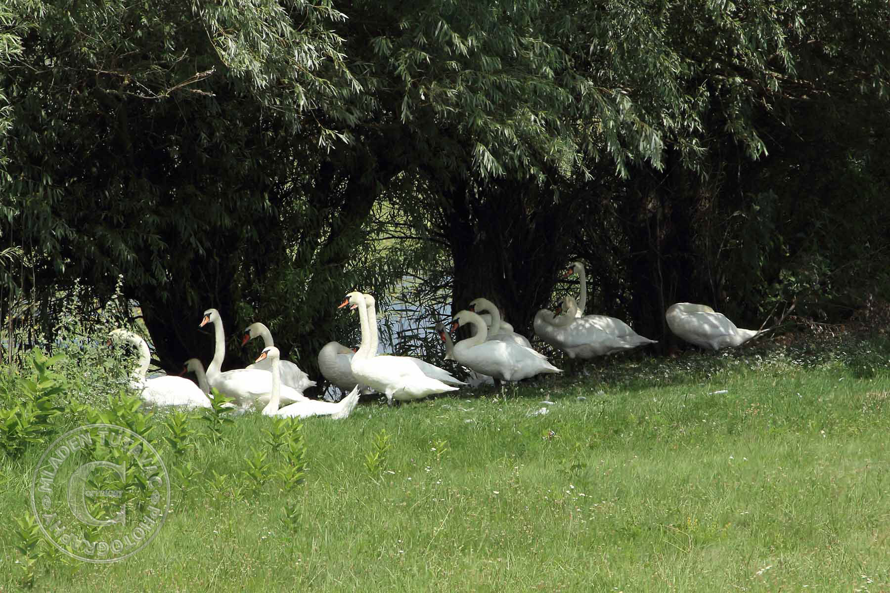 tour guide:from Kopacevo to Batina by bike-Swans